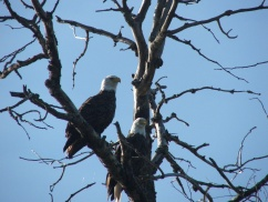 Eagle Family at Campground